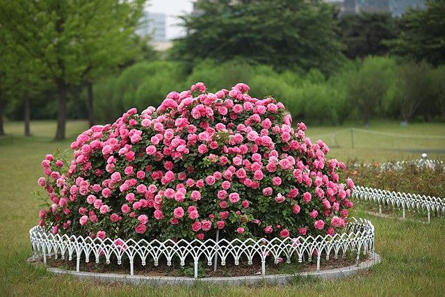 pink-rose-images