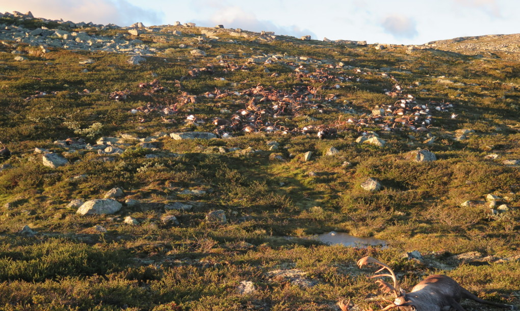 Deadly lightning strike kills over 300 reindeer in Norway