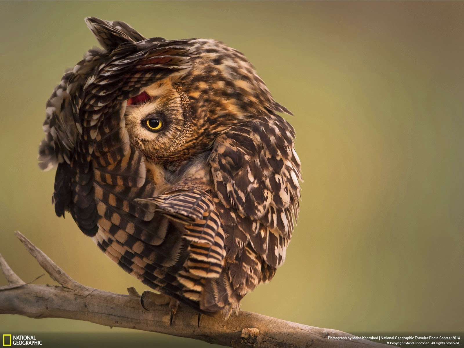 Wild Funny Owl Animals Wallpapers