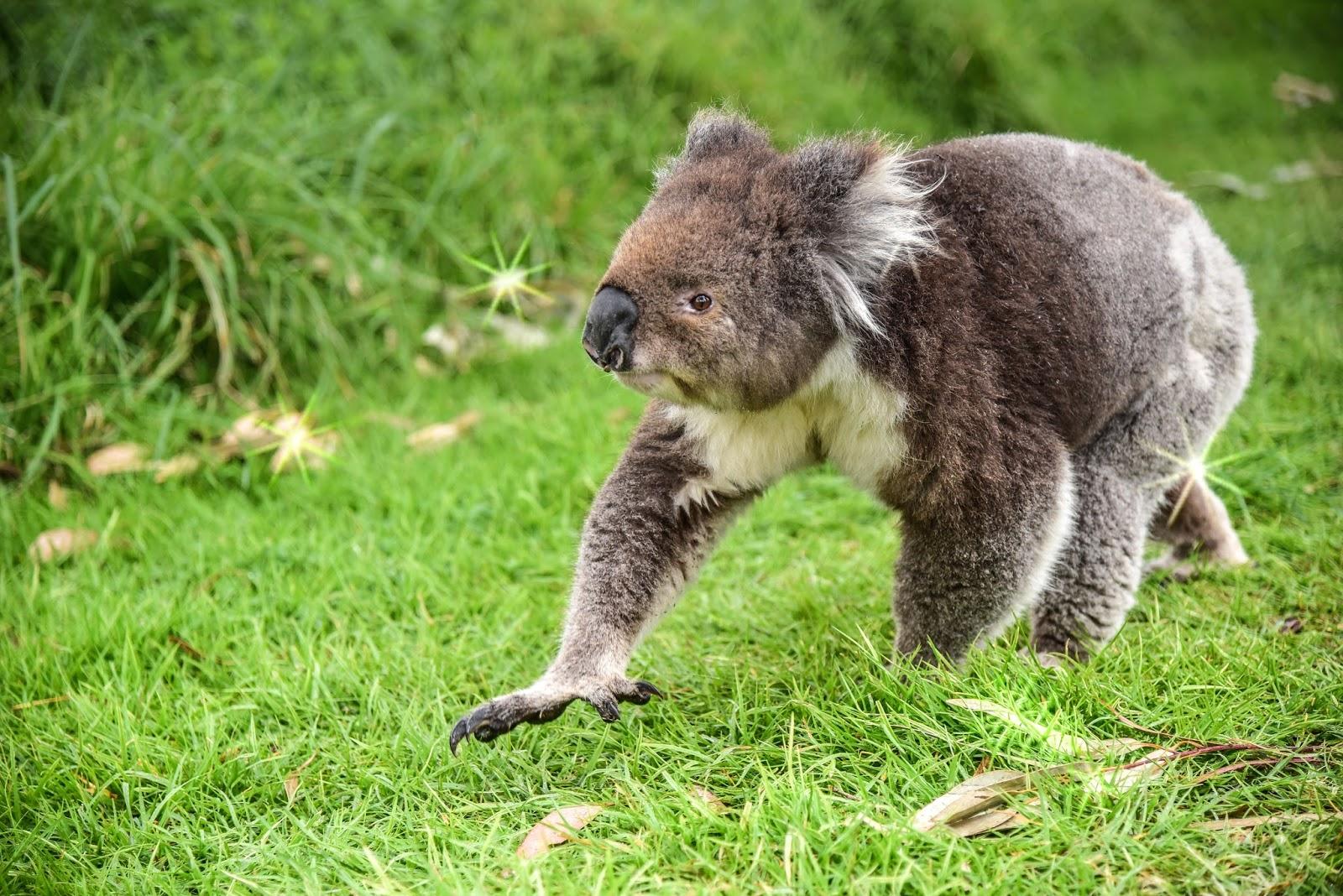 Koala walking on the grass.