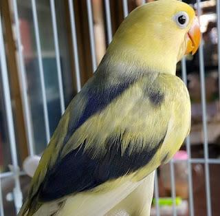 Kumpulan Jenis Warna Burung Lovebird Termahal Di Dunia Terlengkap