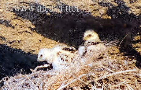Los pichones del Águila Mora en el nido
