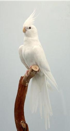 Cockatiel | A-Z List of 125 Rare Albino Animals [Pics]