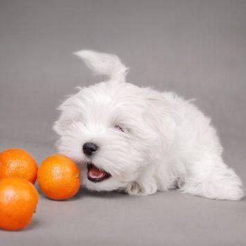 perro maltes comiendo naranjas