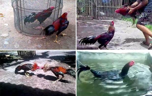Cara Jitu Melatih Nafas Ayam Bangkok Aduan Super