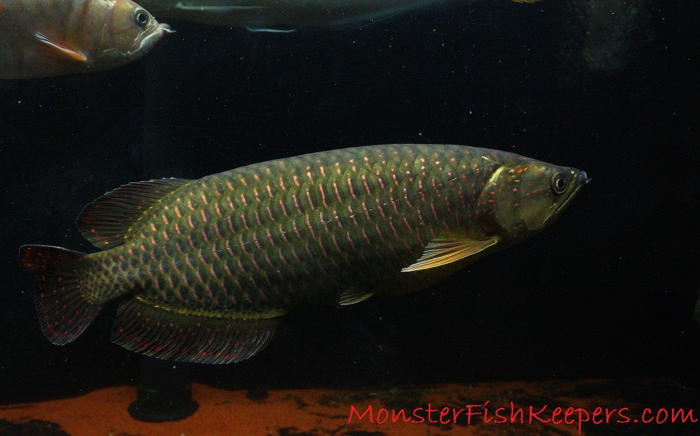 Foto Kisaran Harga Ikan Arwana Irian, Profil Dan Cara Merawatnya