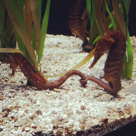image of seahorses, two of whom are holding each other's tails