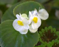 Begonia/Begonia sp.
