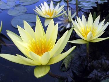 Nymphaea 'Saint Louis Gold'