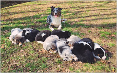All About Dogs Images: Border Collie Puppies Michigan