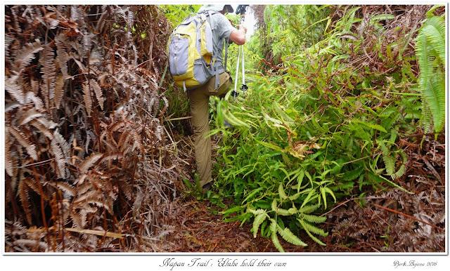 Napau Trail: Uluhe hold their own