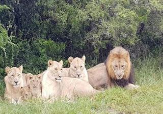 Caçador de rinocerontes é comido vivo por grupo de leões