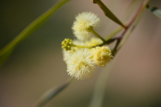 acacia salicina, willow acacia, bush morning glory, desert garden, small sunny garden, amy myers, spring bloom,