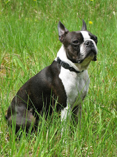 All About The Boston Terrier
