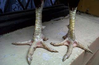 Keunggulan sisik kaki ayam aduan jenis naga mangsa