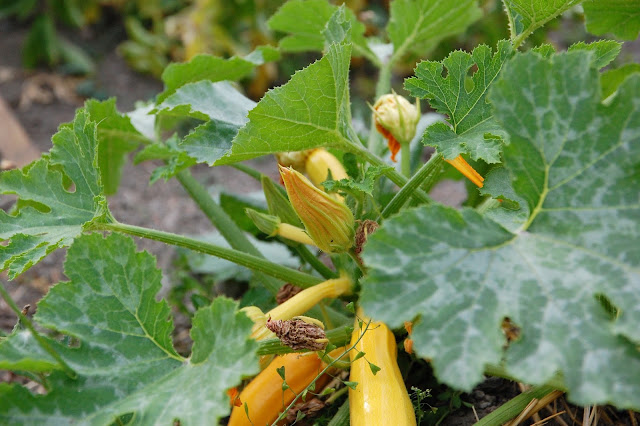 a yellow summer squash plant with a squash and some flowers on it