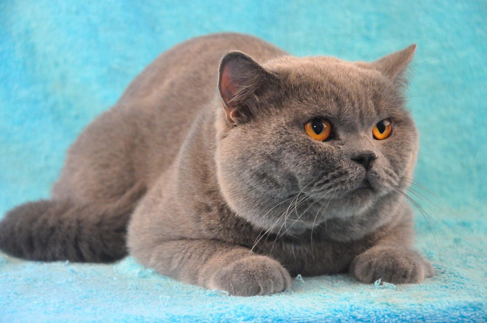 Gambar Kucing Himalaya godean.web.id