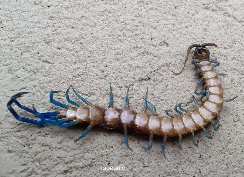 Insetologia - Identificação de insetos: Lacraia em Pernambuco