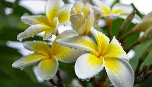 7 manfaat bunga kamboja buat kesehatan tubuh