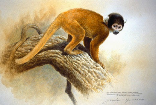 squirrel monkey essay Many primates are native to the amazon rainforest, including the white capuchin , the red howler monkey, the rufous-naped tamarin, and the.