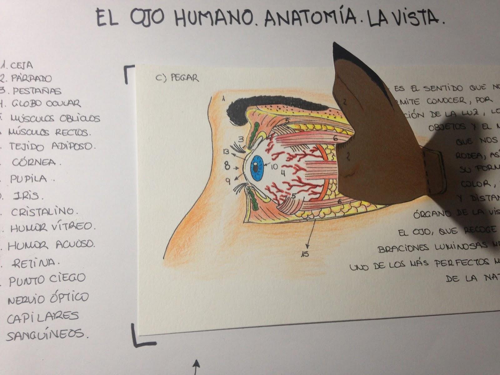 Excelente La Hoja De Ojo Y La Visión Anatomía Viñeta - Imágenes de ...