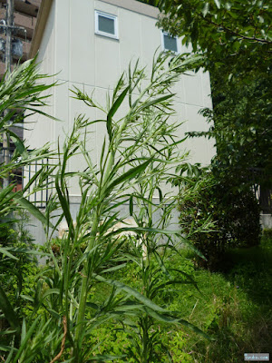 高く伸びる雑草