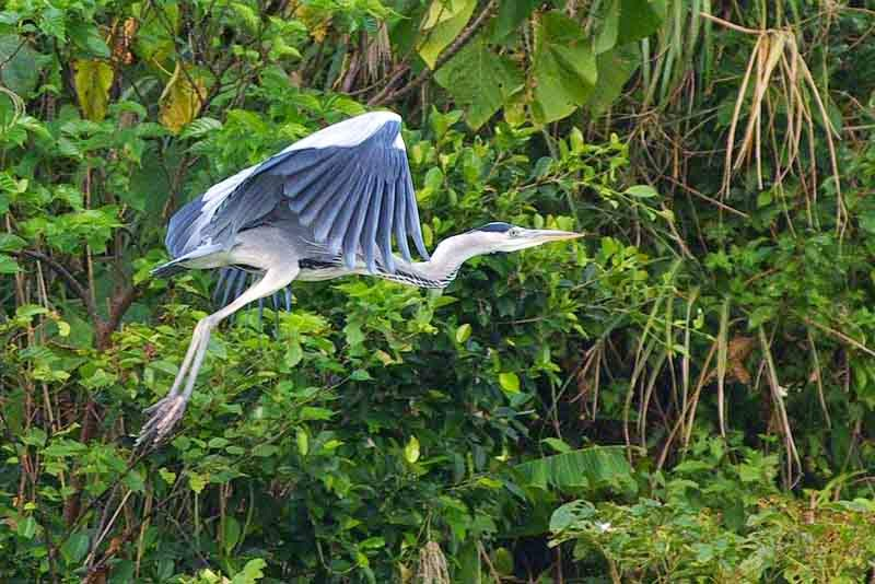 grey heron, flying