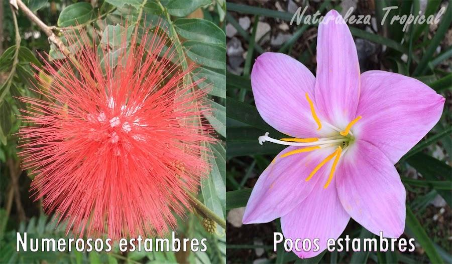 Diferencias en número de estambres en flores