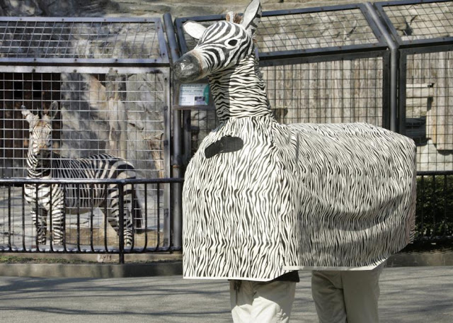 Ueno Zoo in Tokyo. Practice drill for escaped animal 2015. Two zoo employees in a zebra costume stand by the real zebra pen while a real zebra checks out the costume. The Zoo Houdinis and other stories. marchmatron.com
