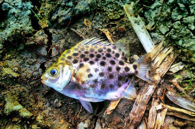 Budidaya Ikan Titang