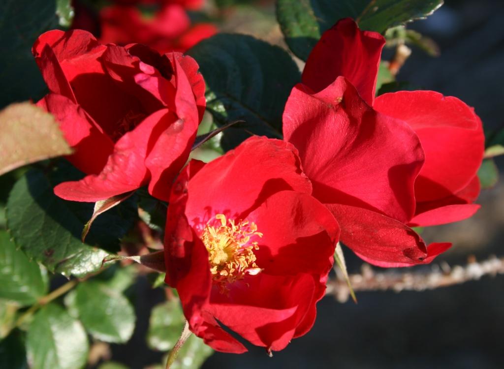 фото сортов розы робусты свой статус
