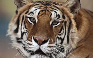 lung cancer michael jackson tiger