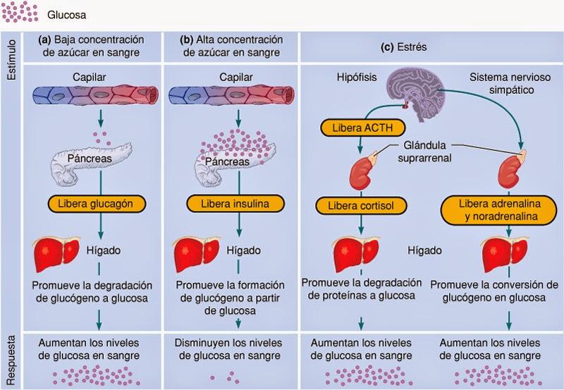 degradacion de la glucosa
