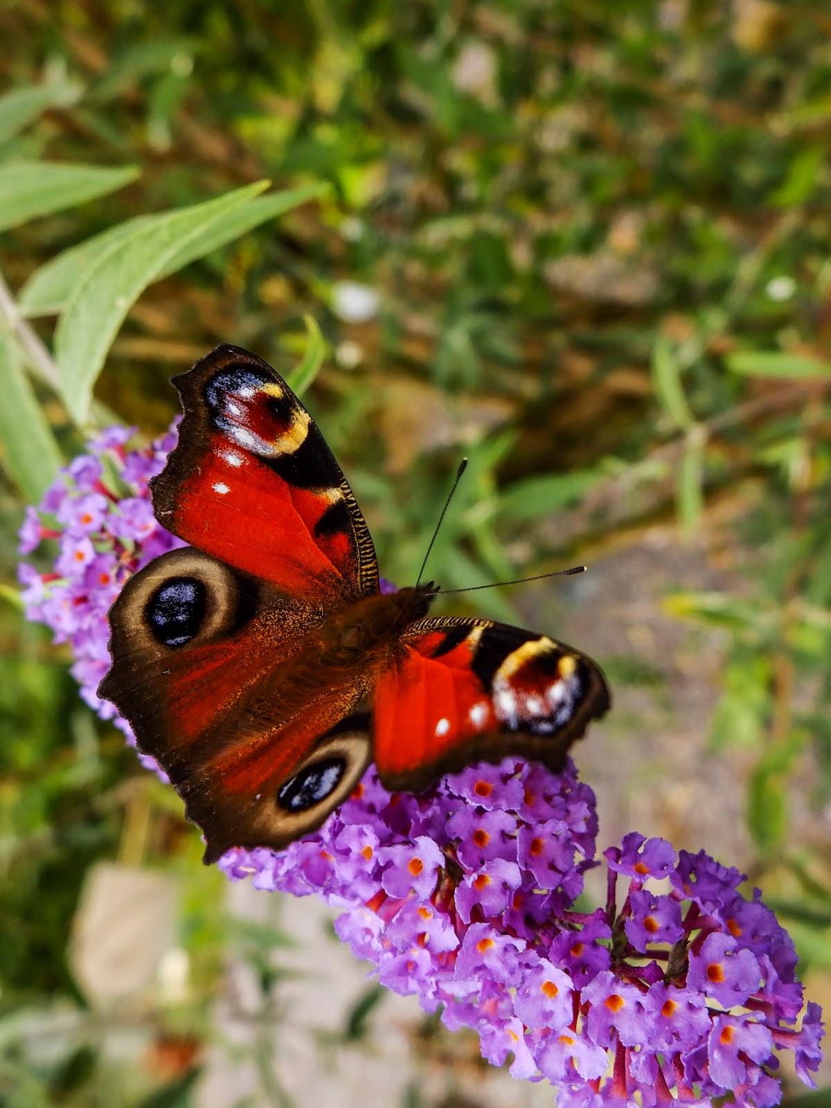 A red butterfly on a purple butterfly bush flower.