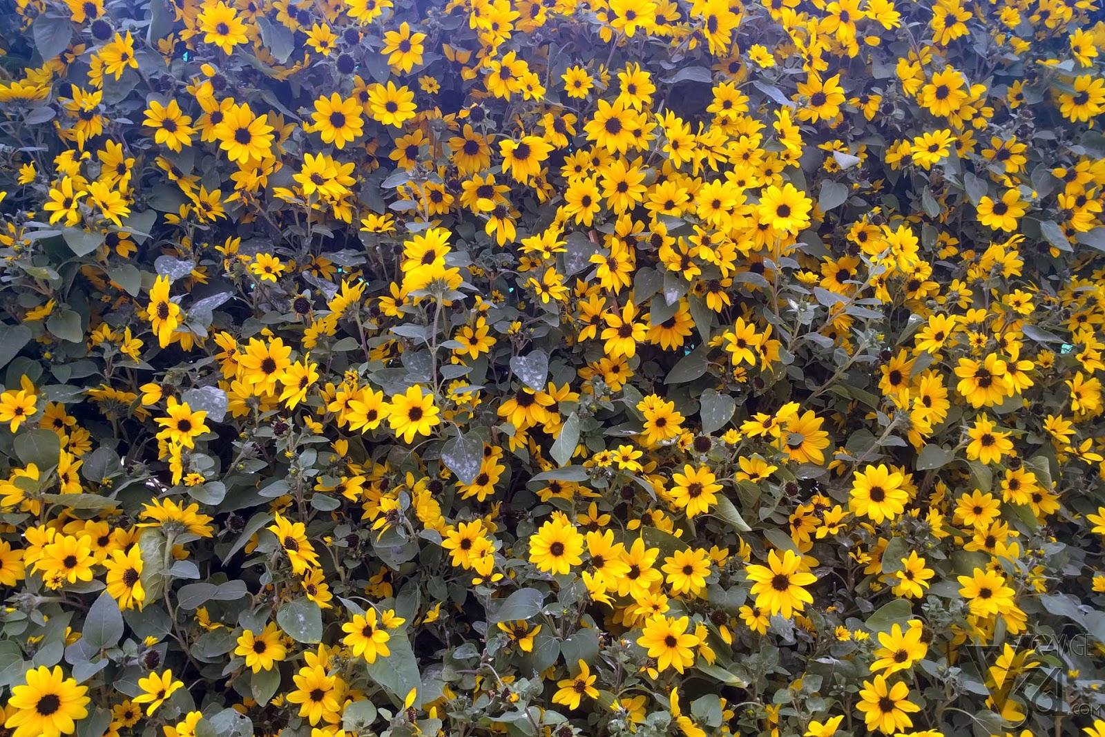 Lalbagh flower show jan 2018 voyage 361 corner display of yellow annual flowers izmirmasajfo