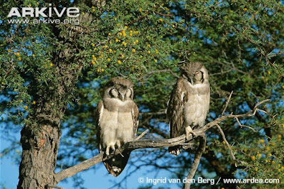 Verreaux´s eagle Owl