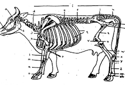 Organ Reproduksi Pada Sapi Jantan Ilmu Ternak