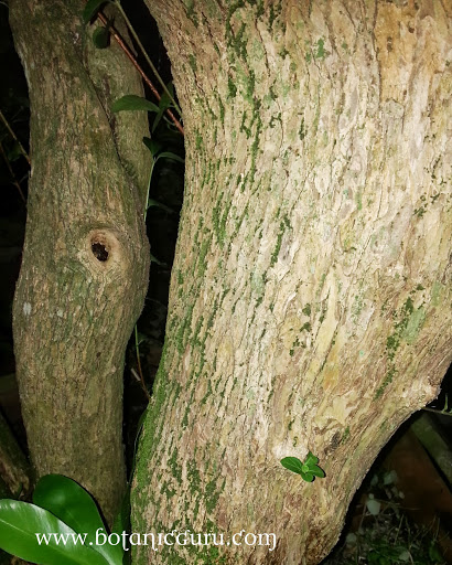 Premna serratifolia, Coastal Premna trunk