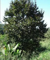 árboles de Argentina Azota caballos Luehea divaricata