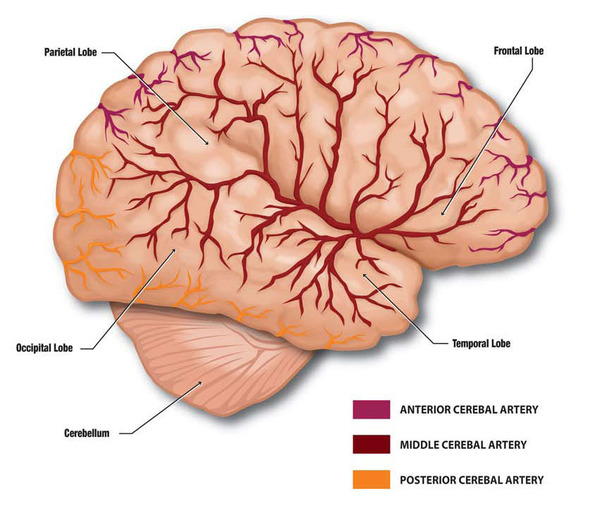 Biology Diagrams,Images,Pictures of Human anatomy and physiology