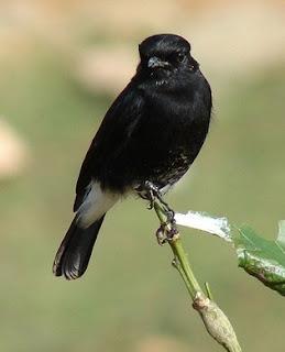 Tips Akurat Mengetahui Ciri Ciri Burung Decu Jantan Dan Betina