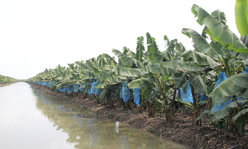 Vườn chuối công nghệ cao hàng chục tỷ đồng của nông dân miền Tây