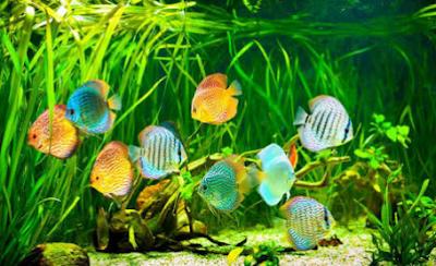 Gambar ikan hias discus terbaru