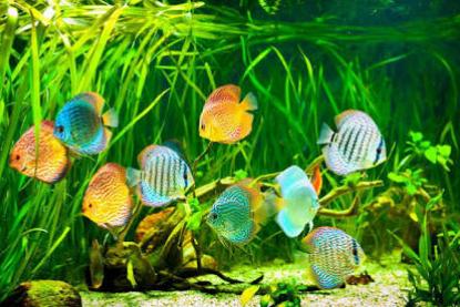 Cara Memelihara Ikan Discus Agar Tidak Mudah Mati
