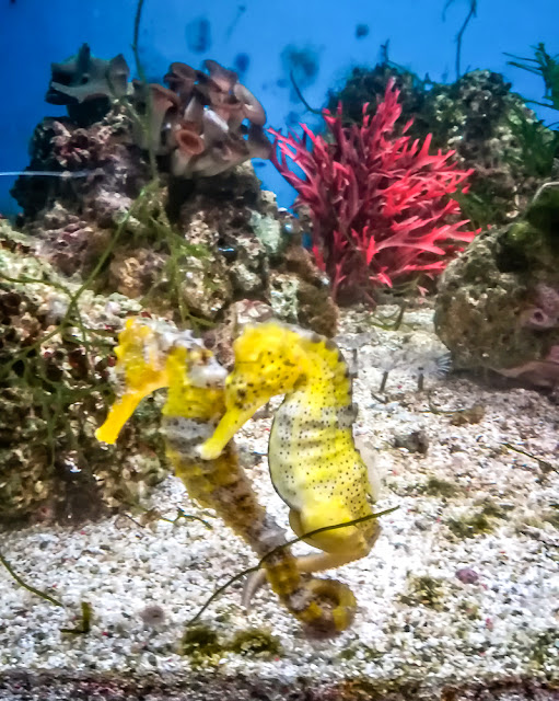Photo of seahorses at The Aquarium