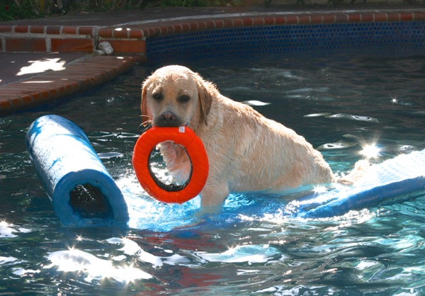 Labrador Cooper pool playtime
