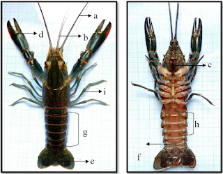 Klasifikasi dan Morfologi Lobster Air Tawar  Kabar Terbaru- KLASIFIKASI DAN MORFOLOGI LOBSTER AIR TAWAR