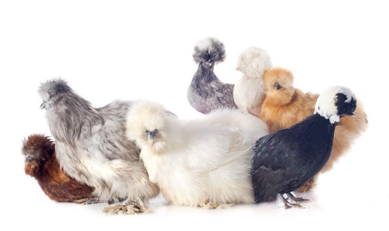 ΗΠΑ: Η νέα μόδα στα κατοικίδια είναι....τα μαλλιαρά κοτόπουλα! (βίντεο)