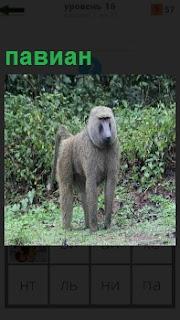 По лесу бродит обезьяна павиан, с угрюмым выражением морды