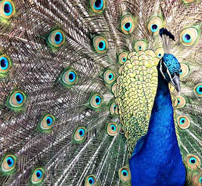 peacock by Tricia @ SweeterThanSweets